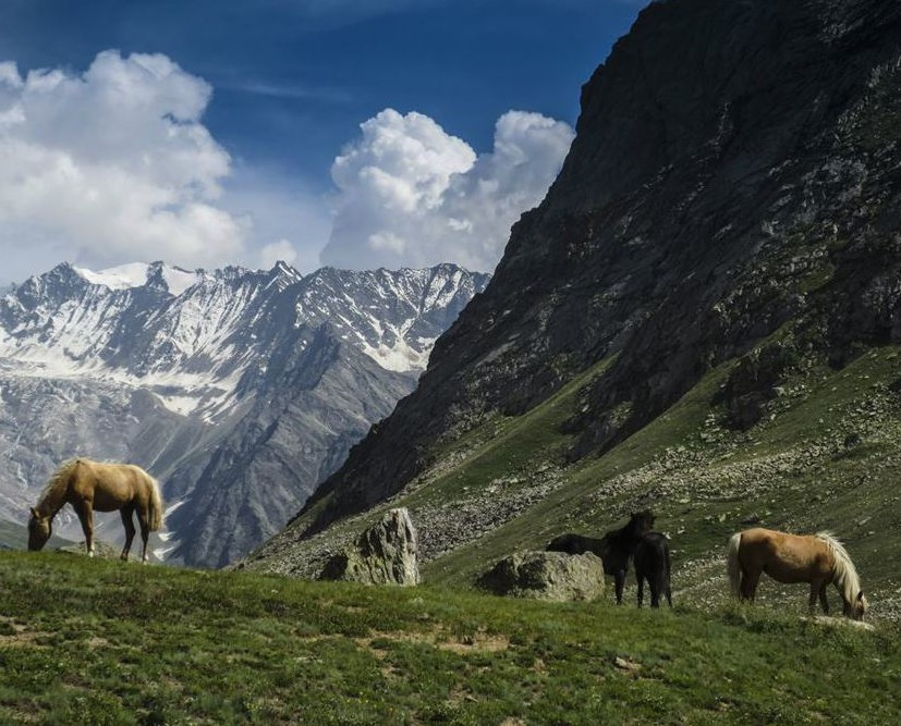 Miyar Valley-18 Horses grazing freely