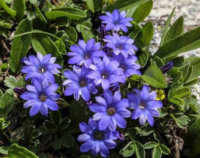 Miyar Valley-6 Purple flowers