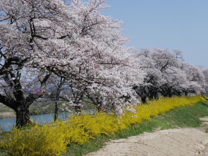 sakura 1 Yamagata