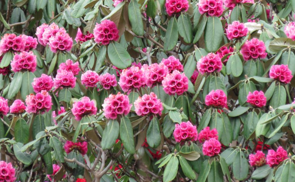 08 Days Sikkim Rhododendron Trek